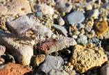Velvet ant, Big Bend, Texas