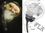 Stomatopod eye metamorphosis (see Feller, Cohen, & Cronin 2014, J. Comp. Physiol. A)