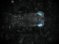 Stomatopod larva