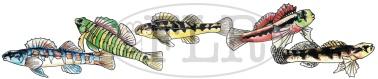Freshwater darters