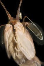 Squilla mantis
