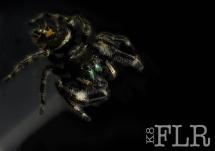 jumpind spider