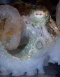Baby one-spot octopus