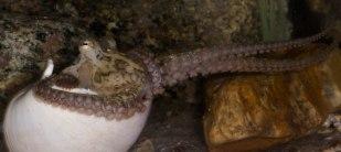 One-spot octopus